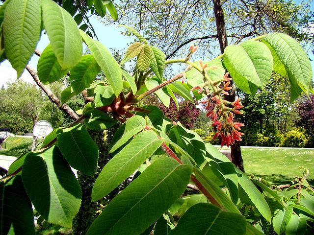 Маньчжурский орех: описание и выращивание