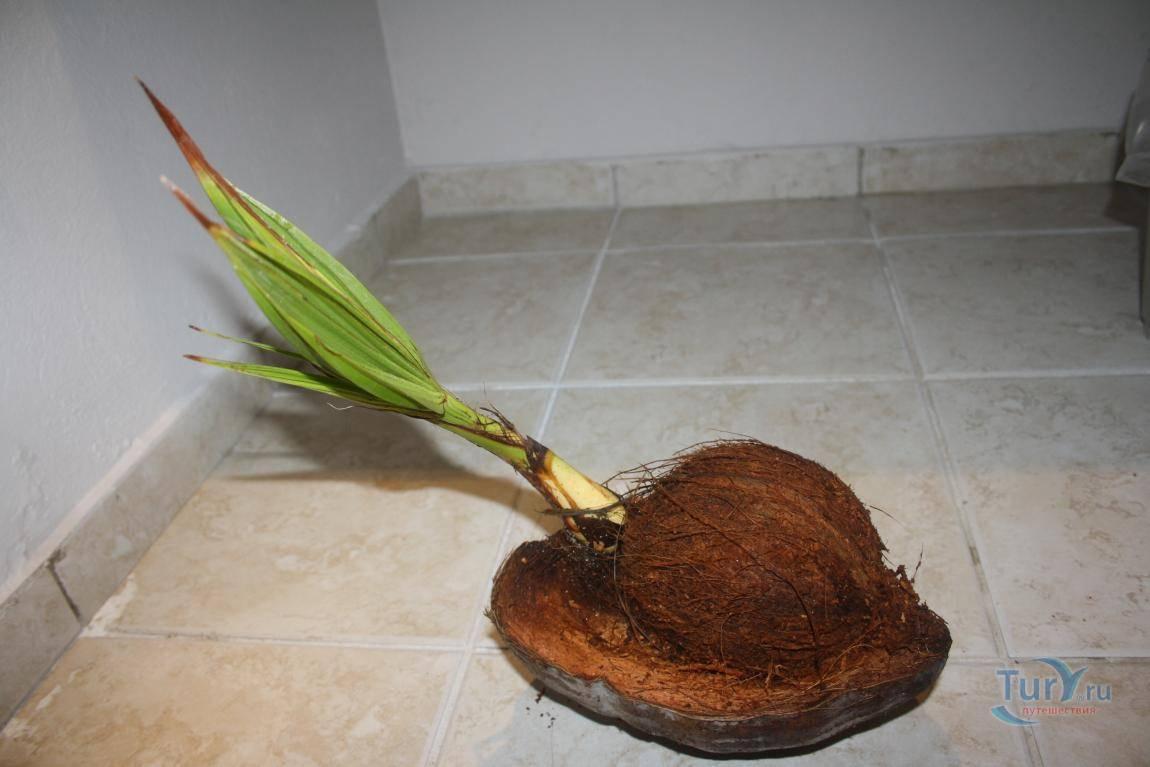 Как вырастить кокос в домашних условиях. как вырастить дома кокосовую пальму. выращивание лимона из косточки в домашних условиях