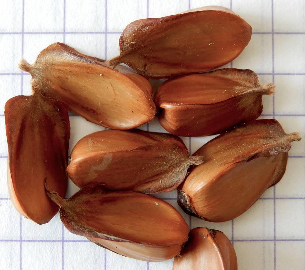 Чилим или водяной орех — применение в кулинарии и медицине