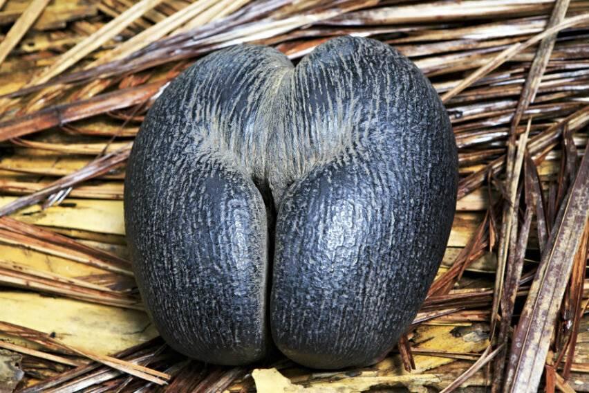 Кокос — описание растения и ореха, полезные свойства и противопоказания, калорийность, состав