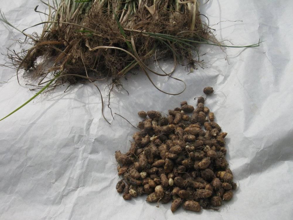 Земляной орех – секреты успешного выращивания в наших садах + видео