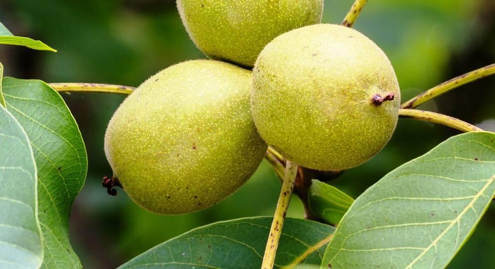 Как размножить грецкий орех прививкой, орехами, черенками, ветками