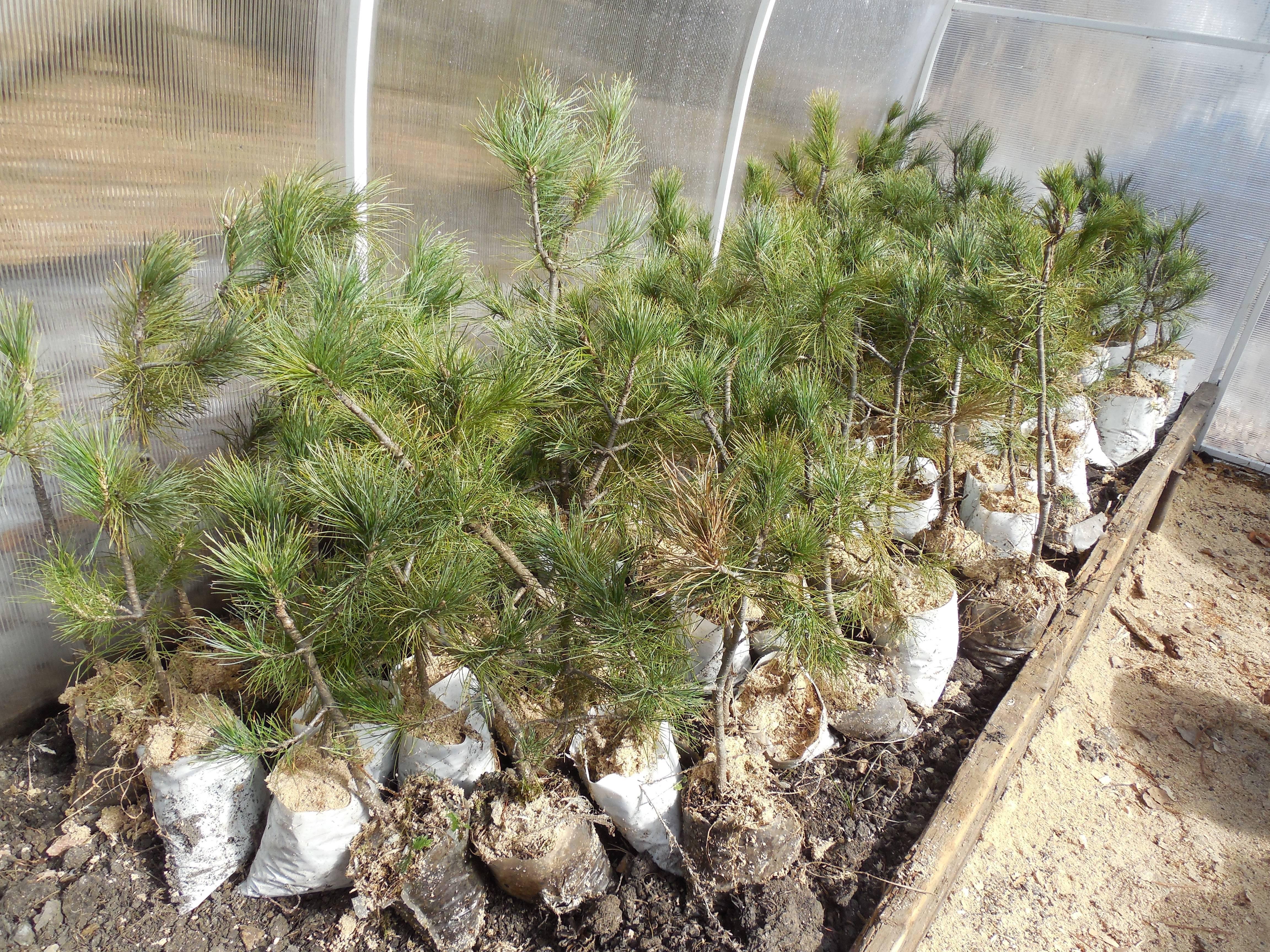 Как посадить кедровое семечко. проращивание кедров