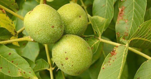 Вредители и болезни грецкого ореха: фото, причины, борьба с ними