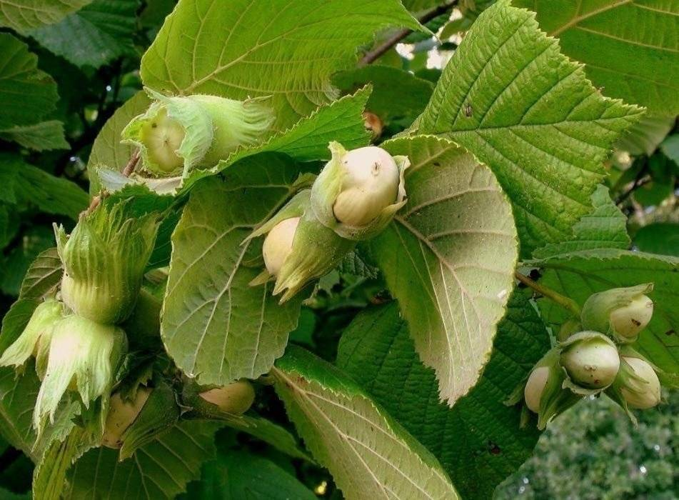 Выращивание ореха фундука в польше
