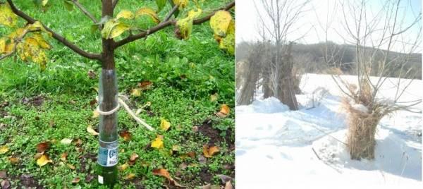 Уход за туей осенью: основные мероприятия по подготовке хвойника к зиме