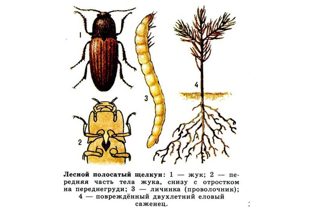 Майский жук (хрущ): как избавиться, препараты, народные средства