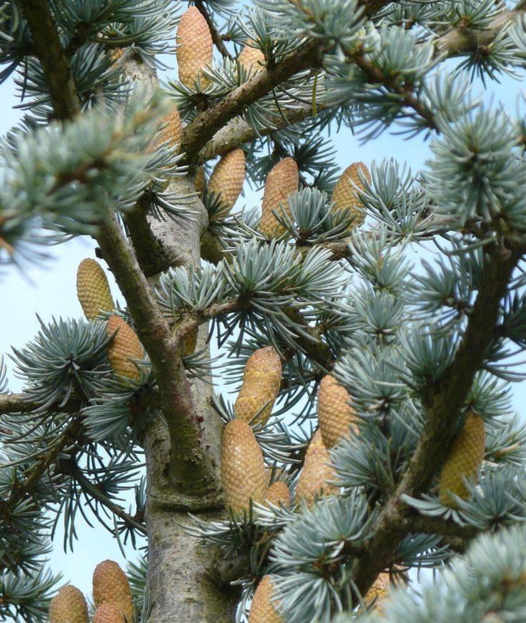 Сонник кедры и кедровые орехи. к чему снится кедры и кедровые орехи видеть во сне - сонник дома солнца