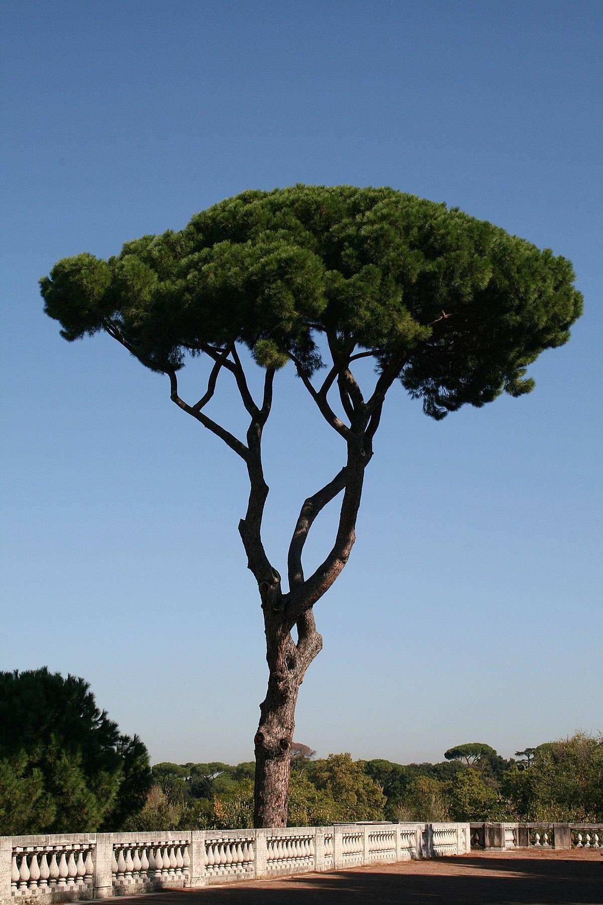 Пиния (35 фото): описание итальянской сосны. как выглядят семена и шишки дерева? какого цвета кора? выращивание и уход