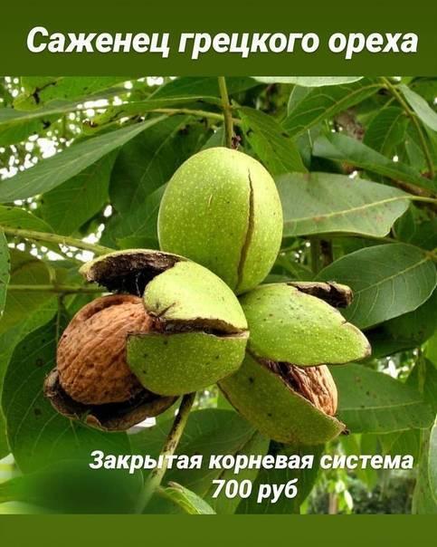 Как защитить орех от морозов — читать ответ