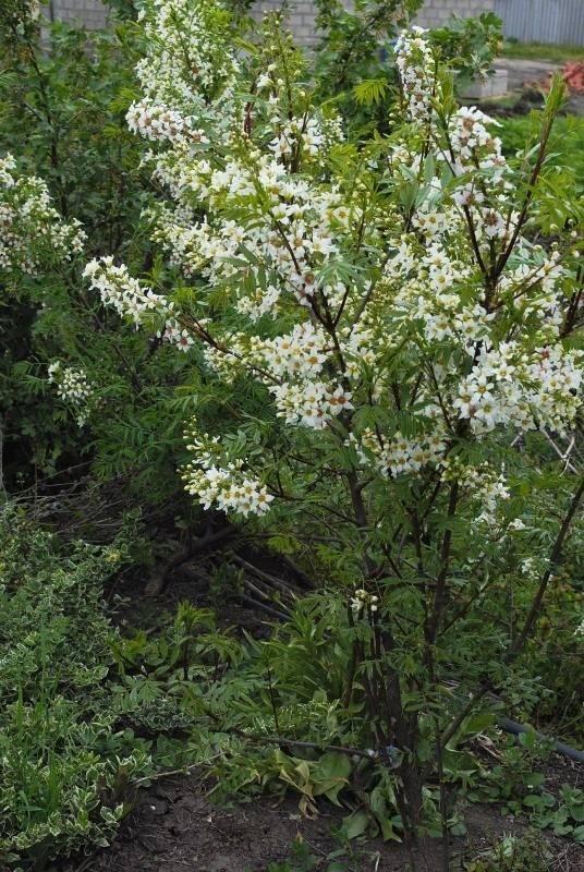 Красивейшее растение — орех маньчжурский. описание и основы выращивания