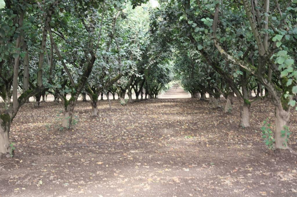 В США бум на выращивание фундука