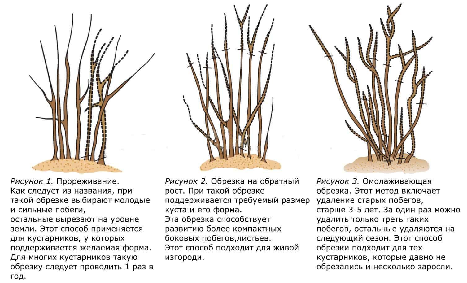 Формирование кроны и обрезка грецкого ореха и фундука