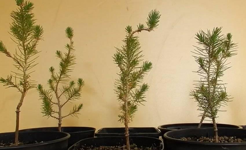 Итальянская сосна пиния, свойства семян pinus pinea
