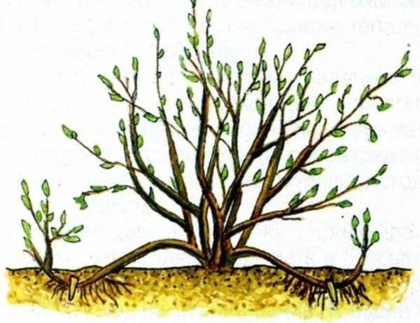 Фундук: как вырастить на своем участке садовую форму лещины