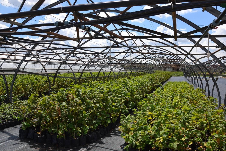Идея для собственного дела - выращивание фундука: организация выращивания и реализация