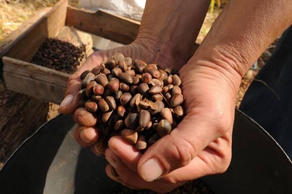 Добыча и переработка орехов кешью на производстве. когда и как их собирают?