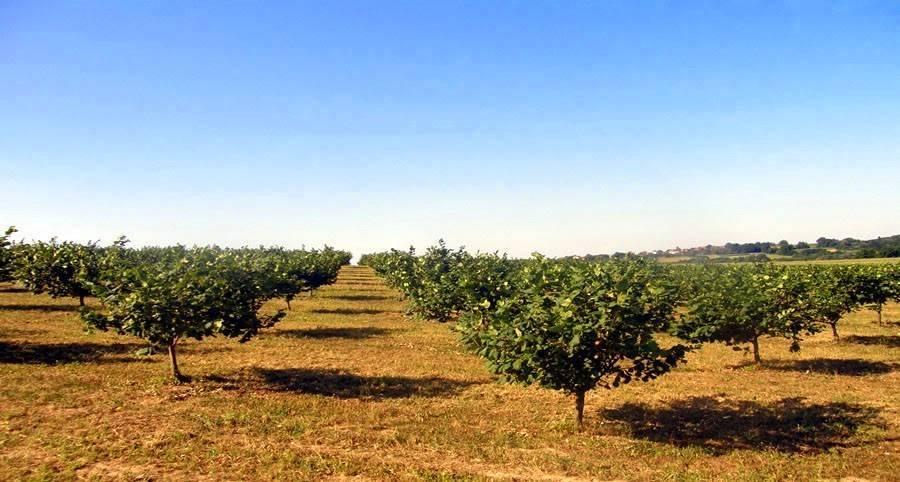 """Фундук """"трапезунд"""": описание сорта, особенности выращивания, урожайность"""