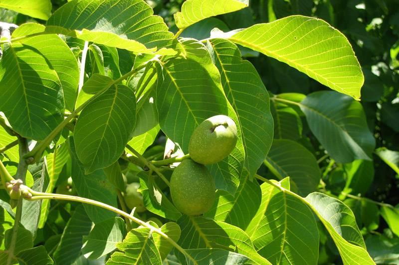 Грецкий орех: выращиваем из орешка весной и осенью