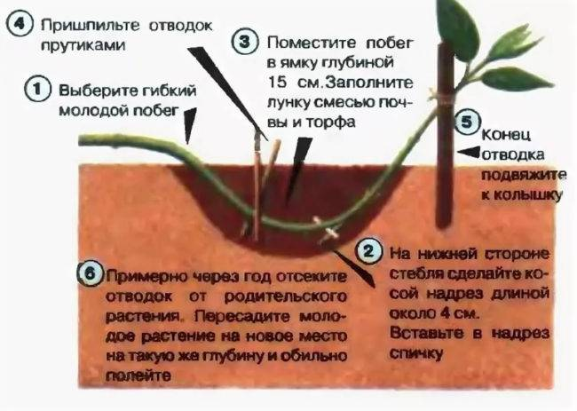Особенности размножения адениумов черенками в домашних условиях и дальнейший уход за растением