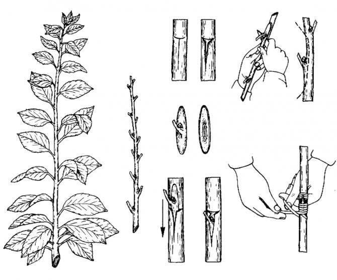 Клен размножение черенками: простая пошаговая инструкция для начинающих (105 фото)