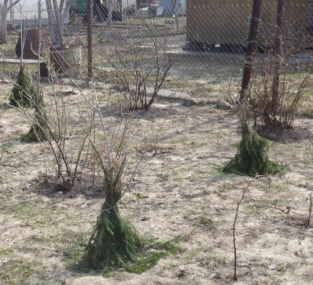 Как укрывать деревья на зиму: чем обмотать, как и когда утеплять – сад и огород своими руками