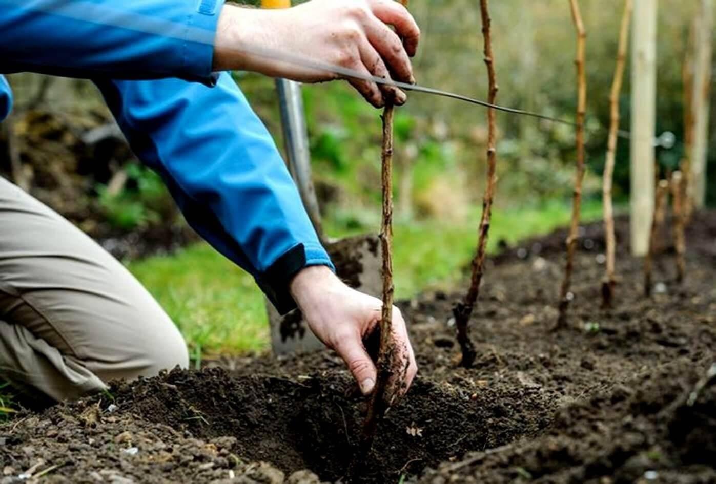Как посадить грецкий орех из ореха – советы начинающему садоводу