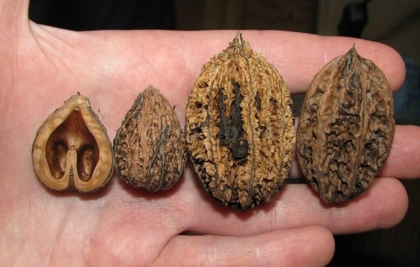 Описание сорта орех сердцевидный они гуруни