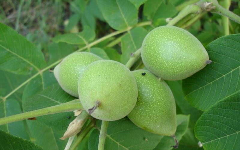Маньчжурский орех — полезные свойства и вред | польза и вред