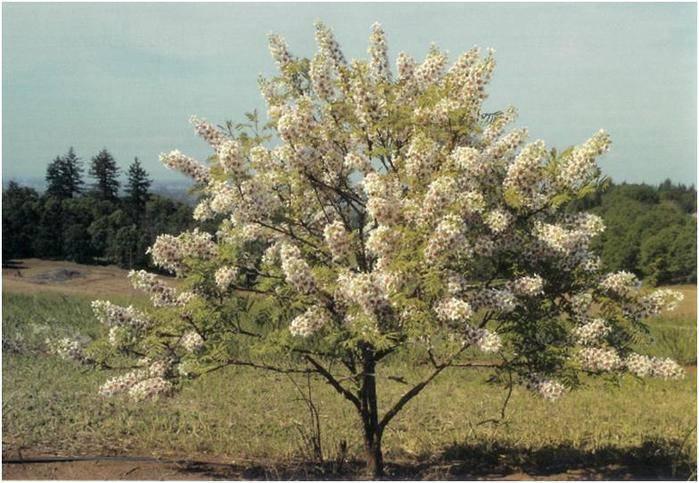 Орех чуфа: что это за растение, когда сажать на рассаду, как подготовить семена, как и где хранить плоды, и иные особенности выращивания тигрового орешка на огороде