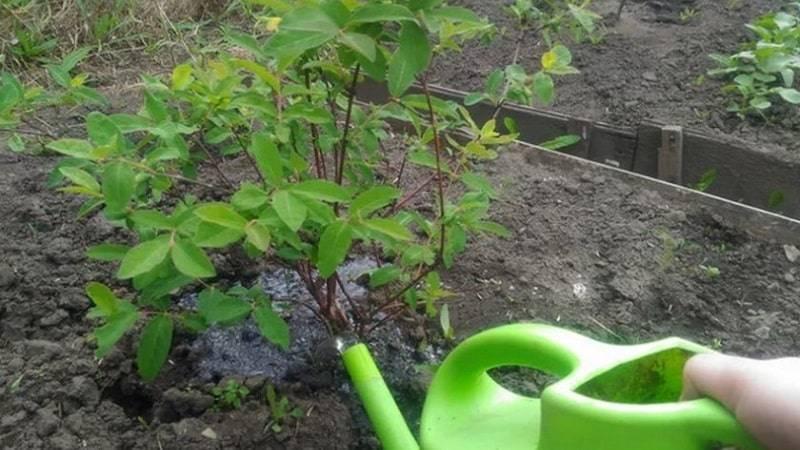 Подкормка грецкого ореха весной, осенью и летом: чем можно удобрять молодой саженец и взрослое дерево, как подкармливать в осеннее и иное время?
