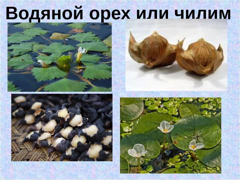Удивительный чилим: польза и вред водяного ореха