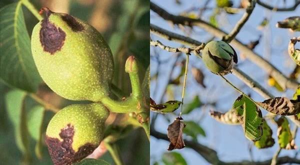 Почему грецкие орехи черные внутри — topsamoe.ru