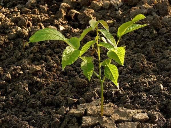 Листья как удобрение для огорода: как использовать листки грецкого ореха, чтобы получить пользу для дерева