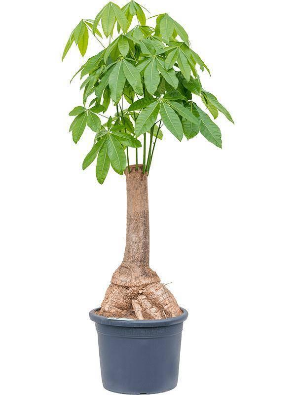 Пахира — тонкости выращивания мини-баобаба