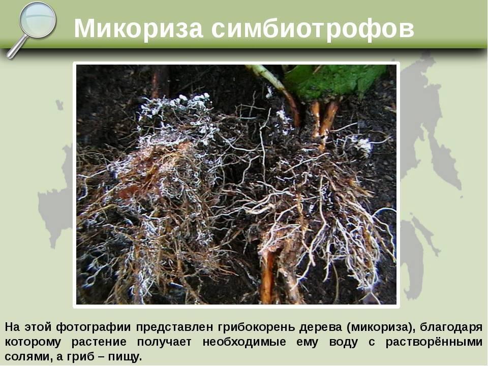 Микориза - что такое (грибокорень)