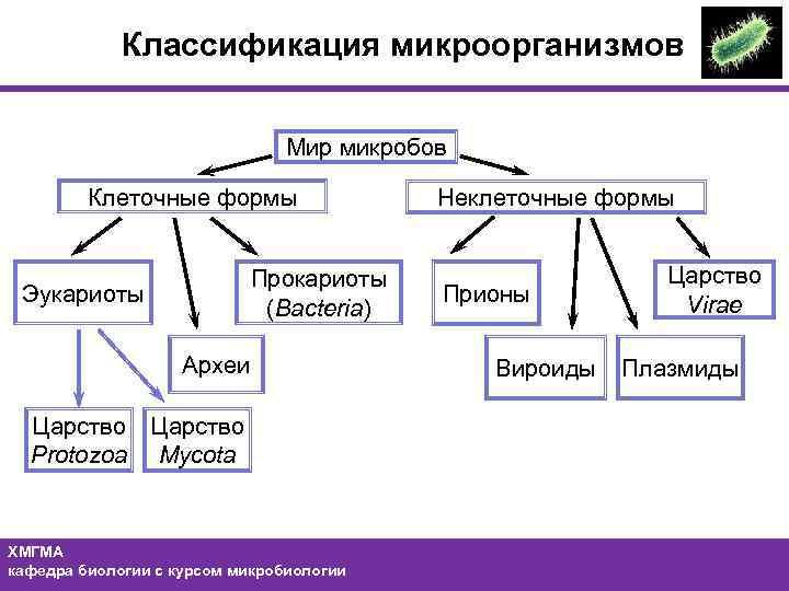 Классификация бактерий берджи
