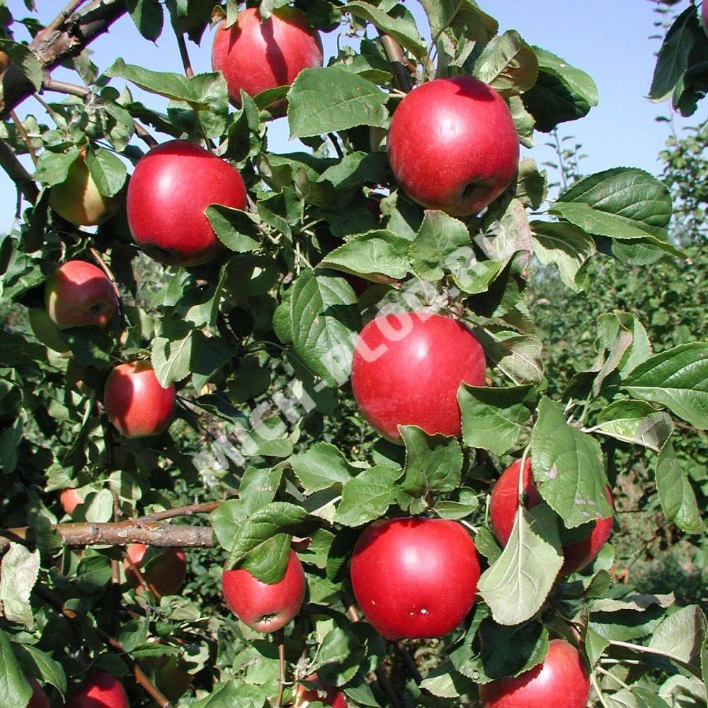 Рисланер - новый интродуцированный сорт винограда