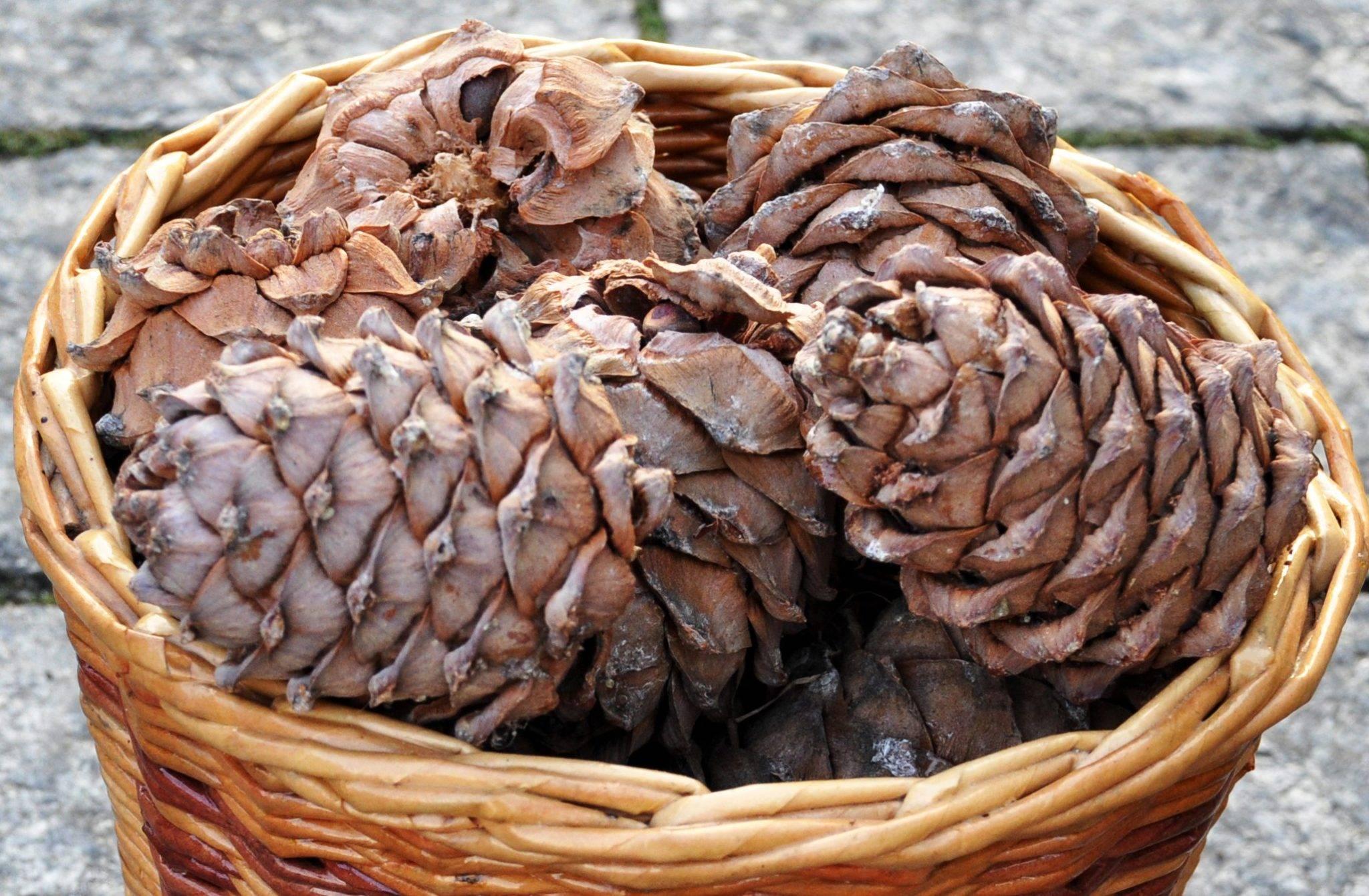 Сонник шишки с кедровыми орехами. к чему снится шишки с кедровыми орехами видеть во сне - сонник дома солнца