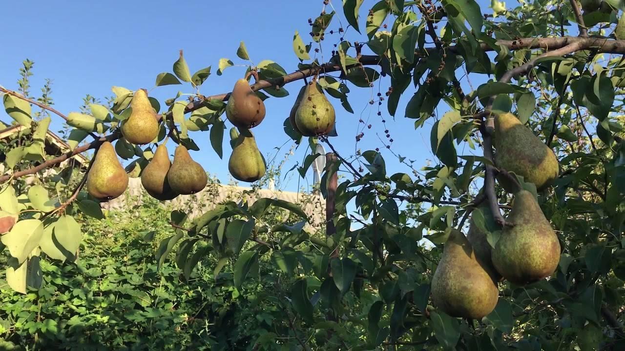 Бизнес по выращиванию грецких орехов