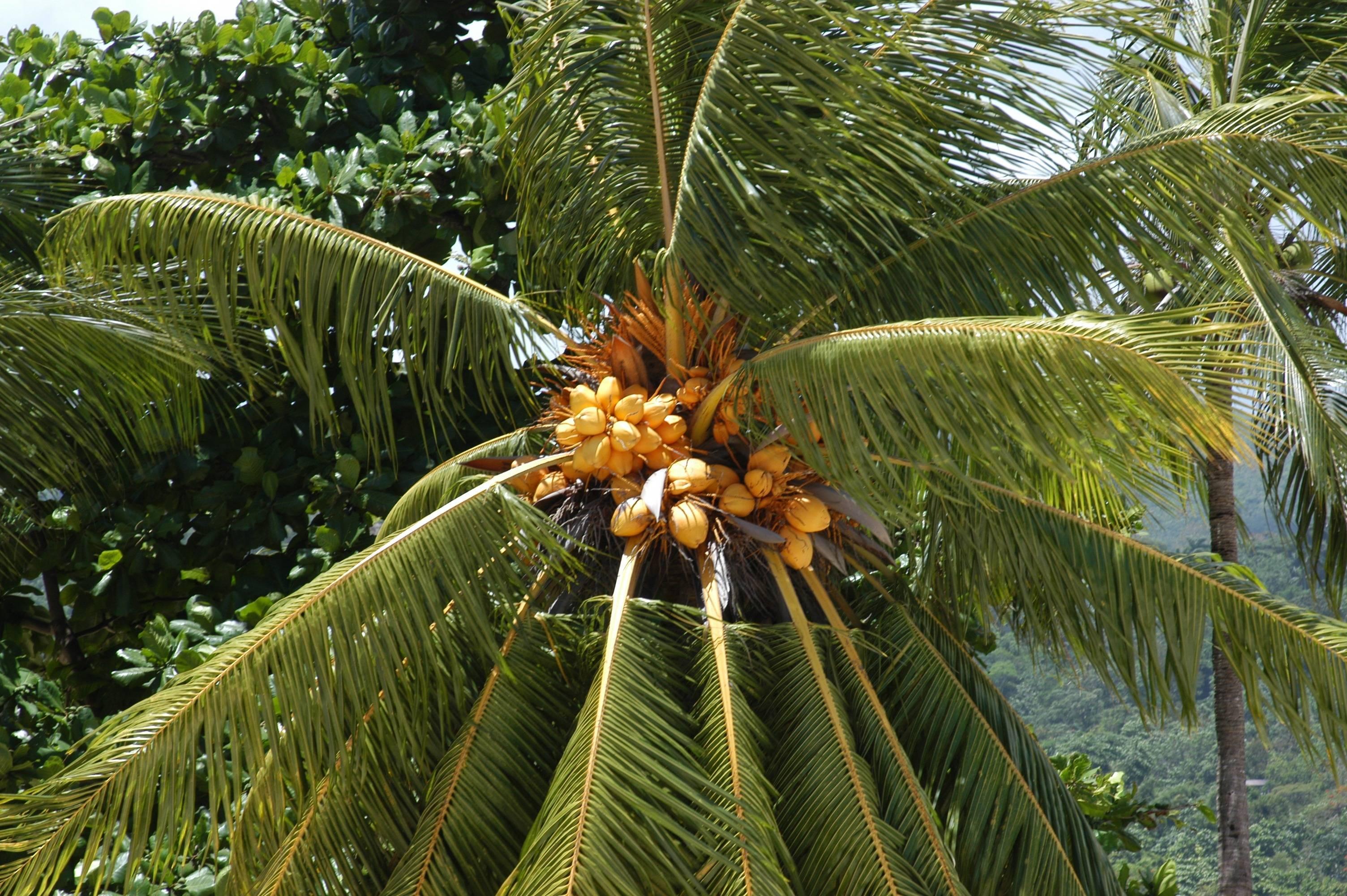 Пальма: что это за растение, что представляют собой плоды и листья такого дерева, где и сколько растет, а также как выглядит на фото версия в виде цветка?