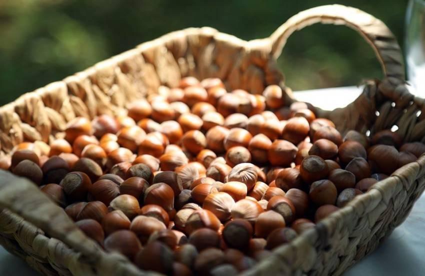Лесной орех (лещина, орешник) и фундук в чем разница - орех эксперт