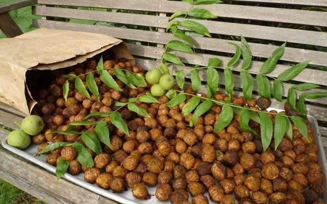 Маньчжурский орех: фото, полезные свойства, противопоказания, применение листьев и плодов, рецепты использования в народной медицине