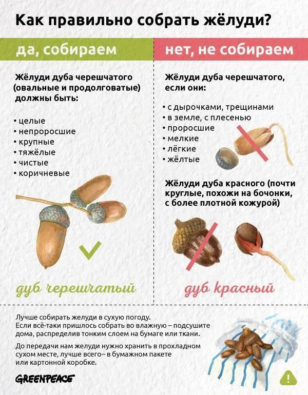 Кора дуба, ее лечебные свойства и противопоказания