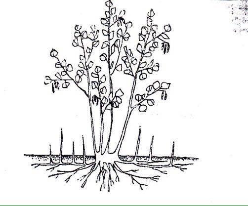 Размножение фундука корневищной порослью (отдирками)
