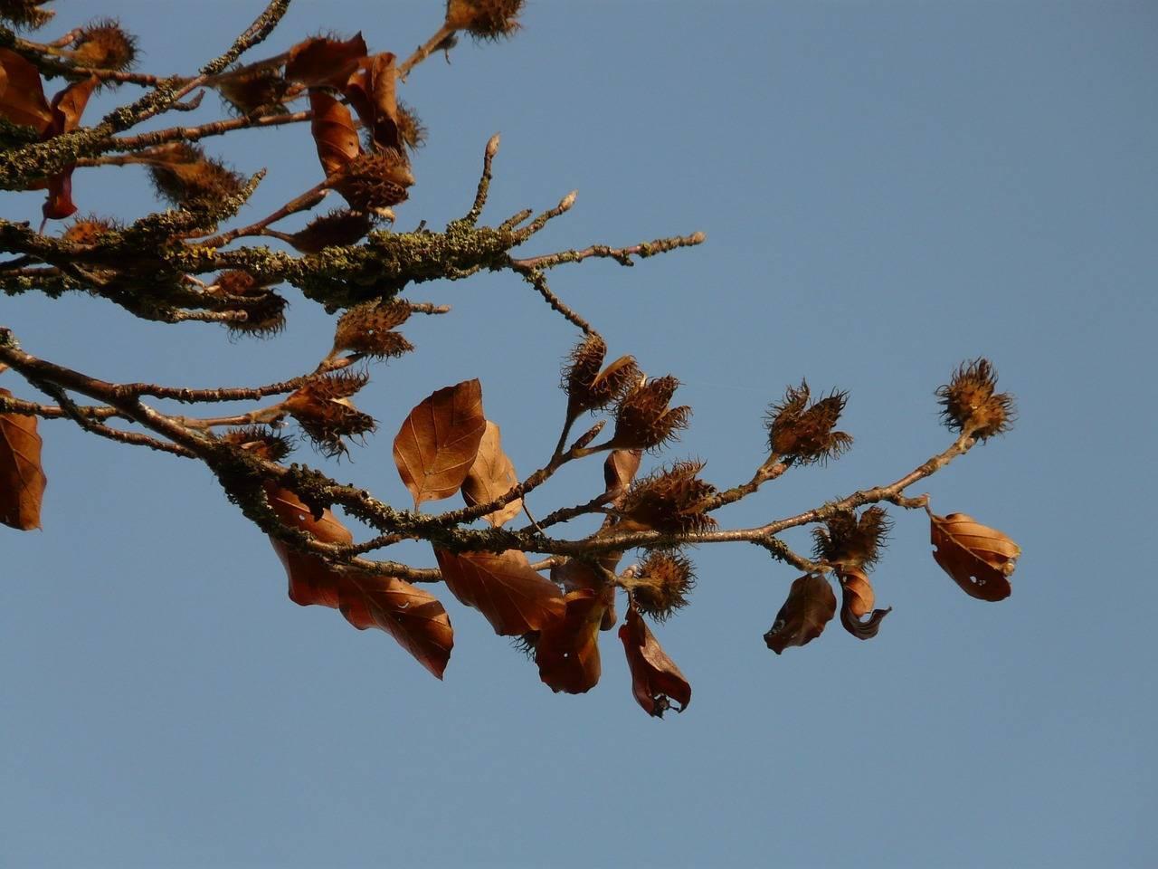 Чилим, водяной или чертов орех: что заорех, где и как растет - орех эксперт