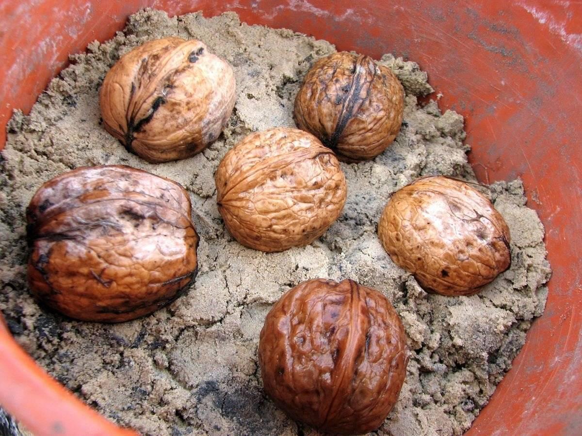 Простые советы, как вырастить грецкий орех из ореха осенью
