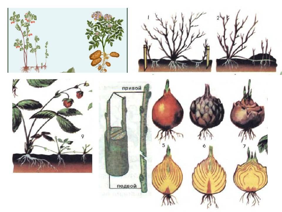 Вегетативное размножение комнатных растений
