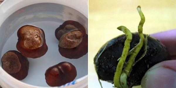 Как посадить и вырастить каштан из ореха в домашних условиях: правильный выбор плода, посадка, уход