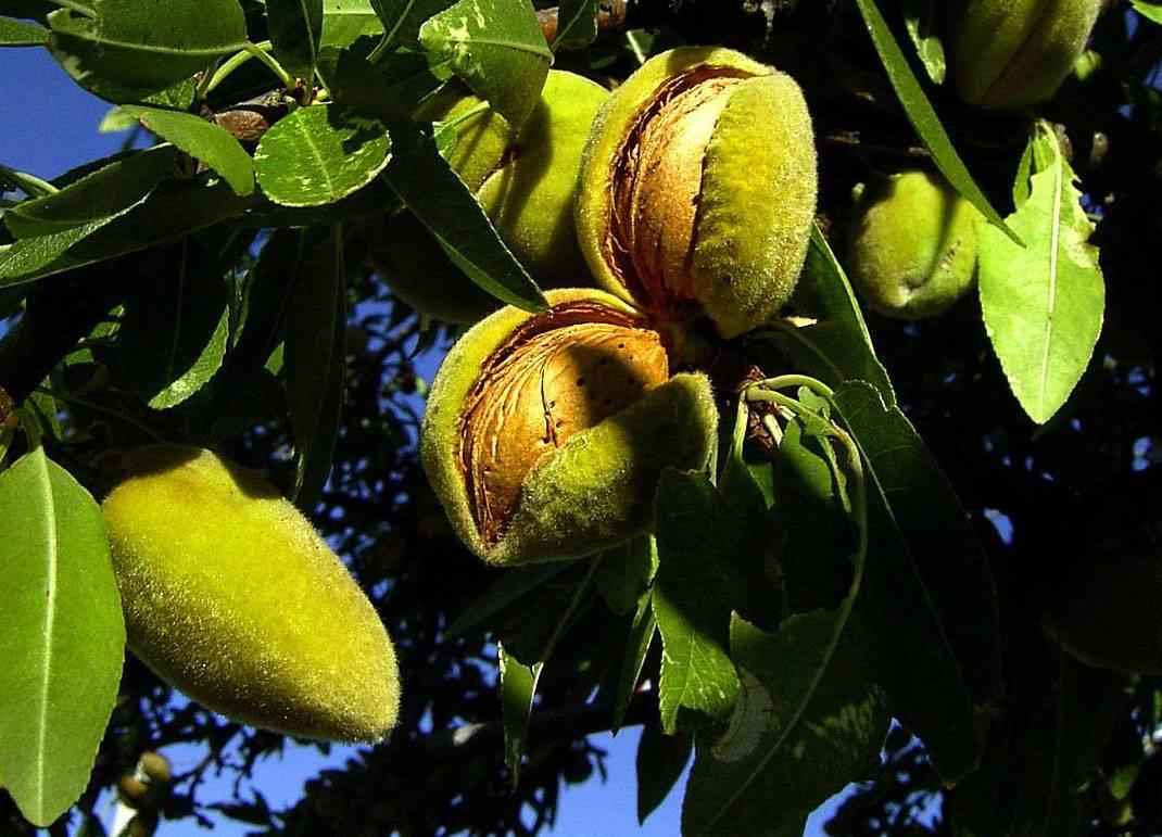 Где и как растет миндальный орех + фото